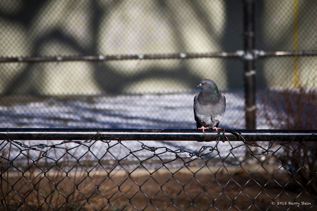 PigeonFence-9536