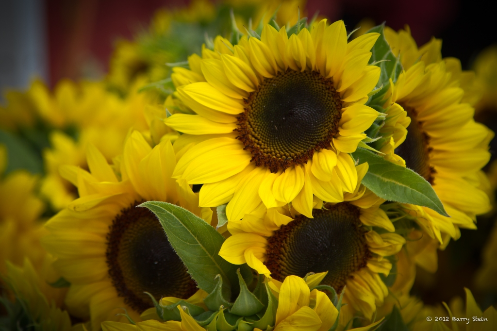 Sunflowers-8794