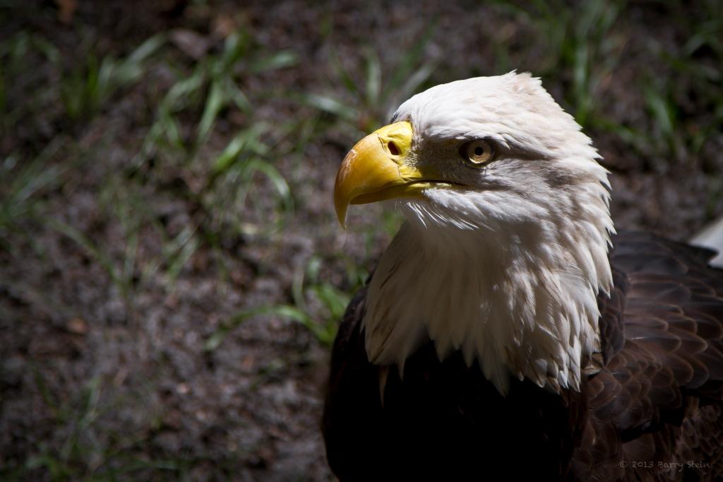 Eagle-5987
