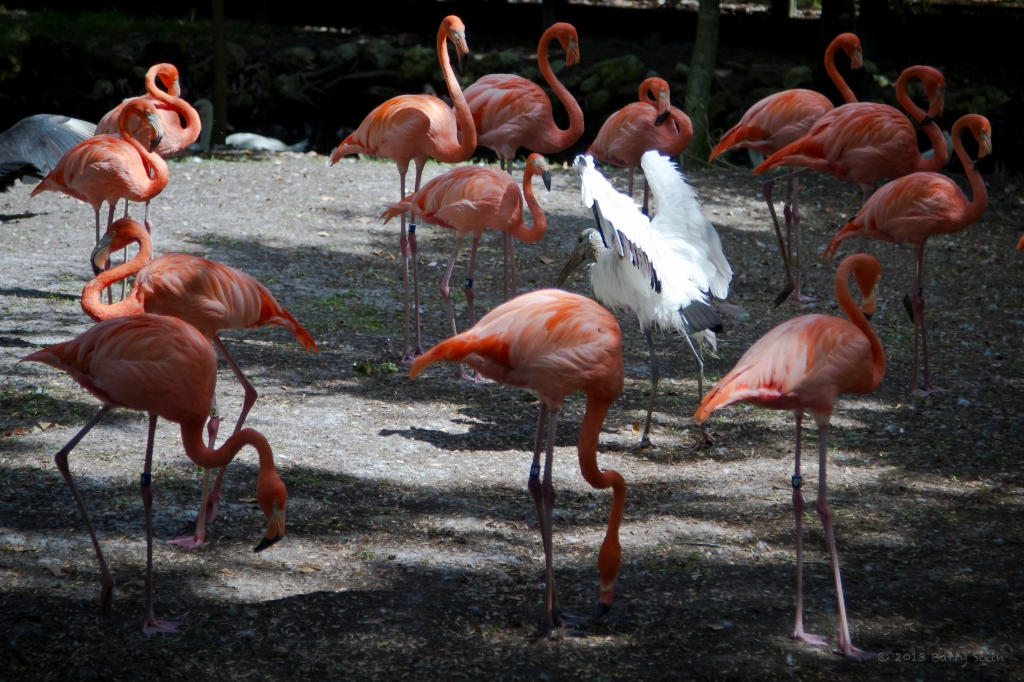 Flamingos-5896