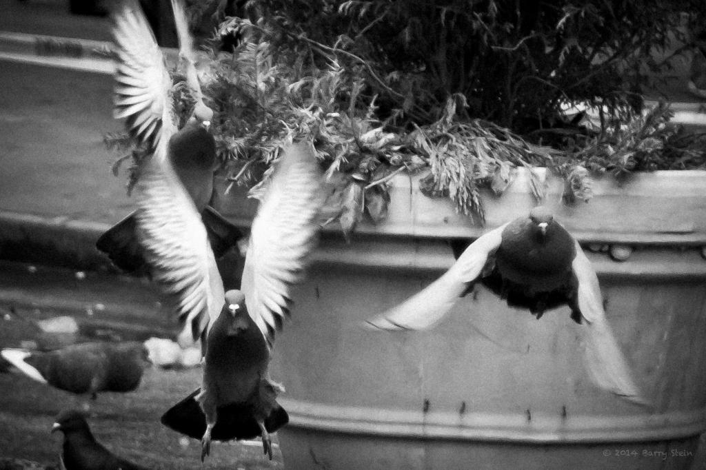 PigeonWIngs-9619