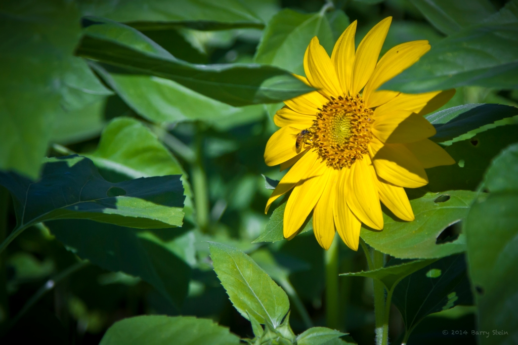 SunflowerBee-2184