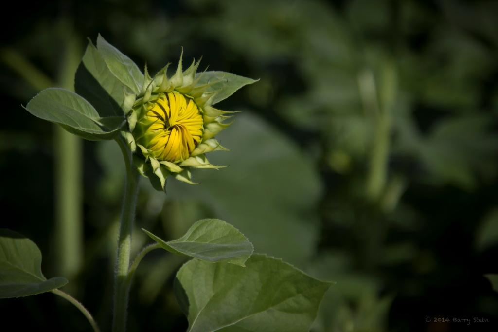 SunflowerBud-2179
