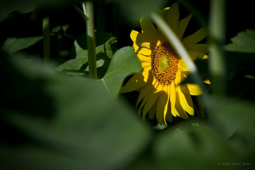 SunflowerInBehind-2178