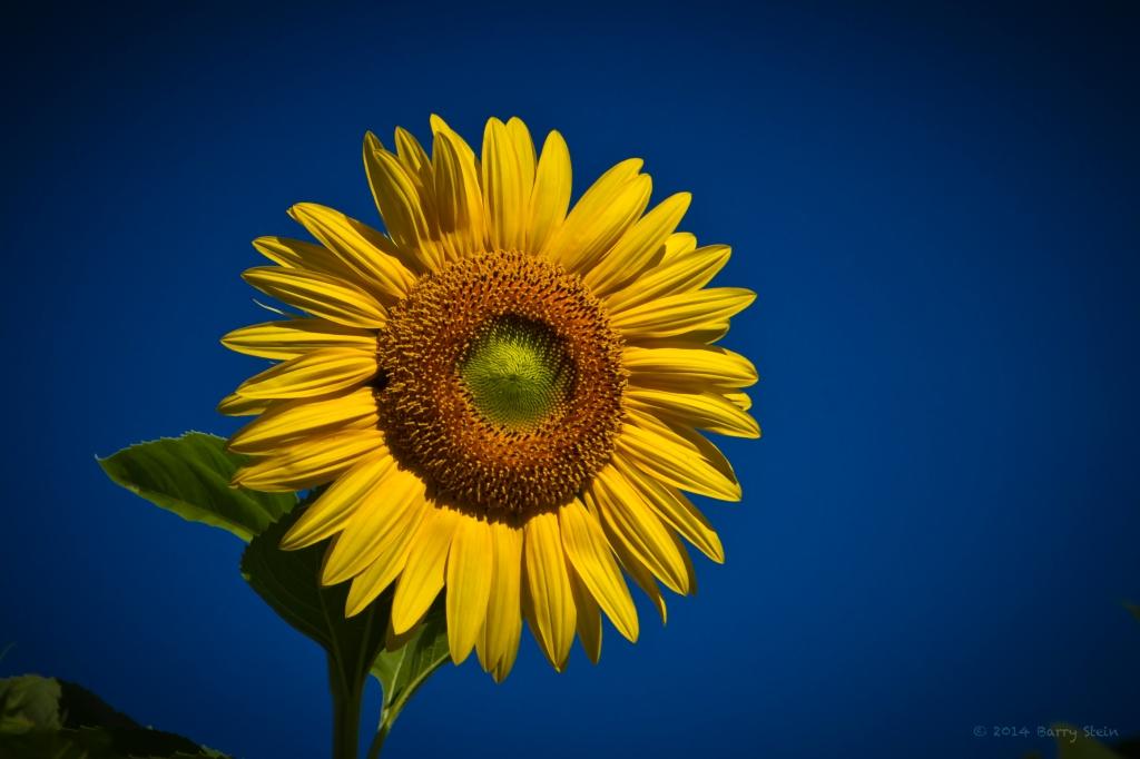 SunflowerPerfect2-2234