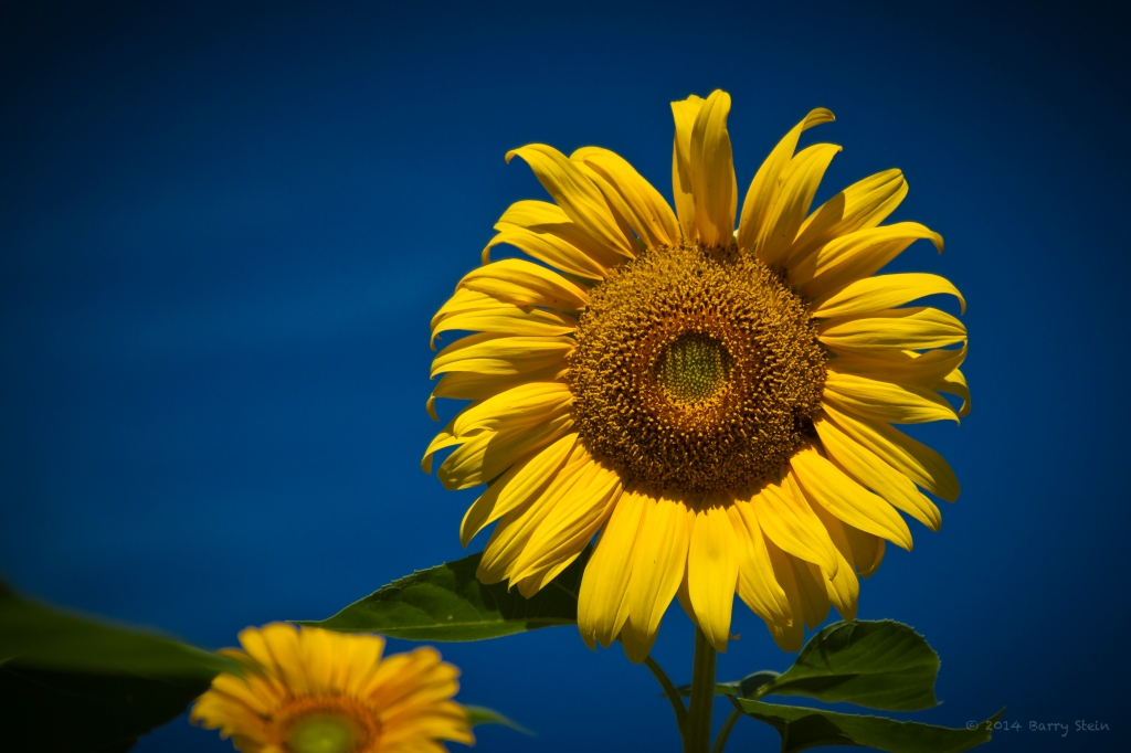 SunflowerRight-2213