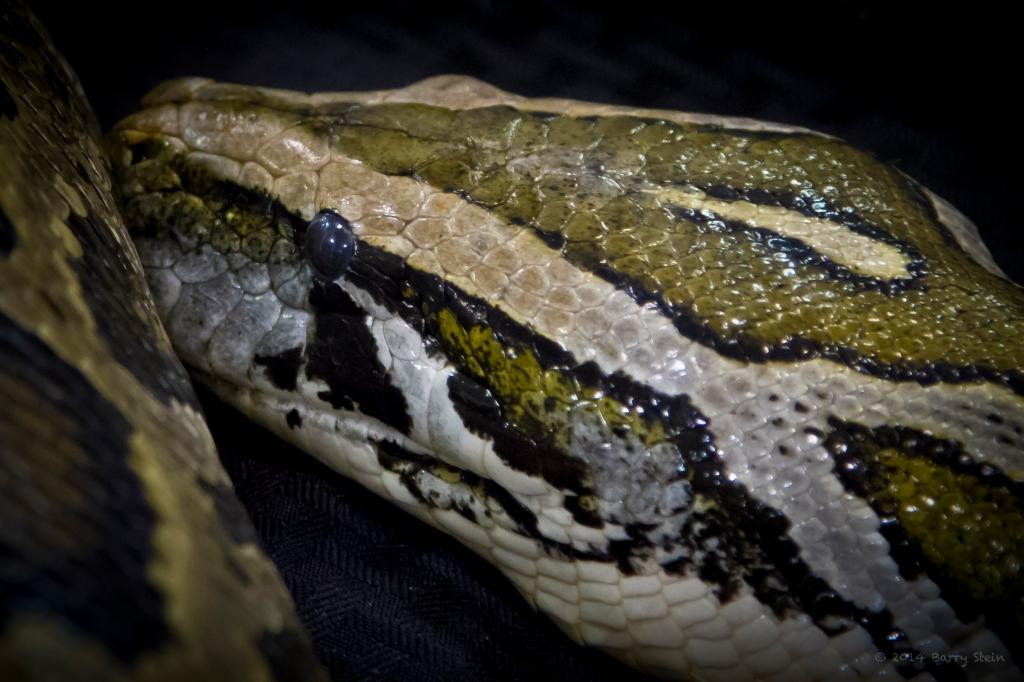 SnakeHead-3143