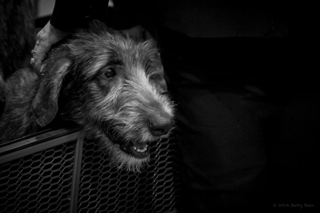 WolfhoundPuppy-2793