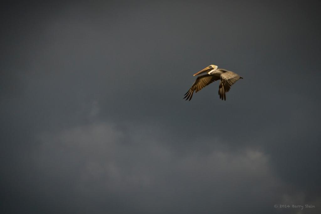 Pelican-7469