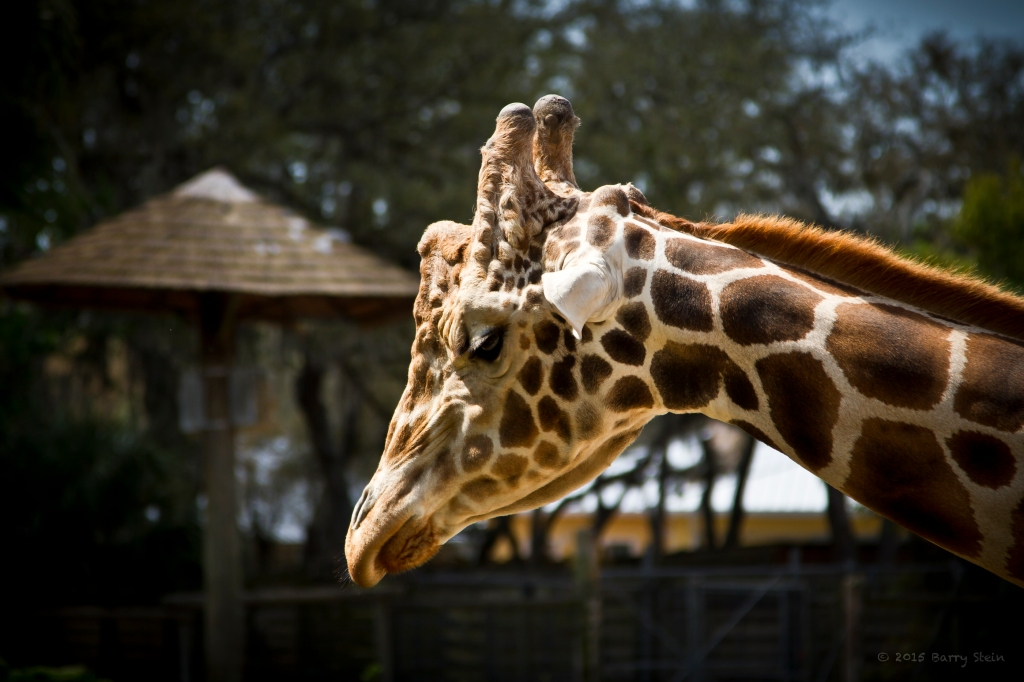 Giraffe-1658