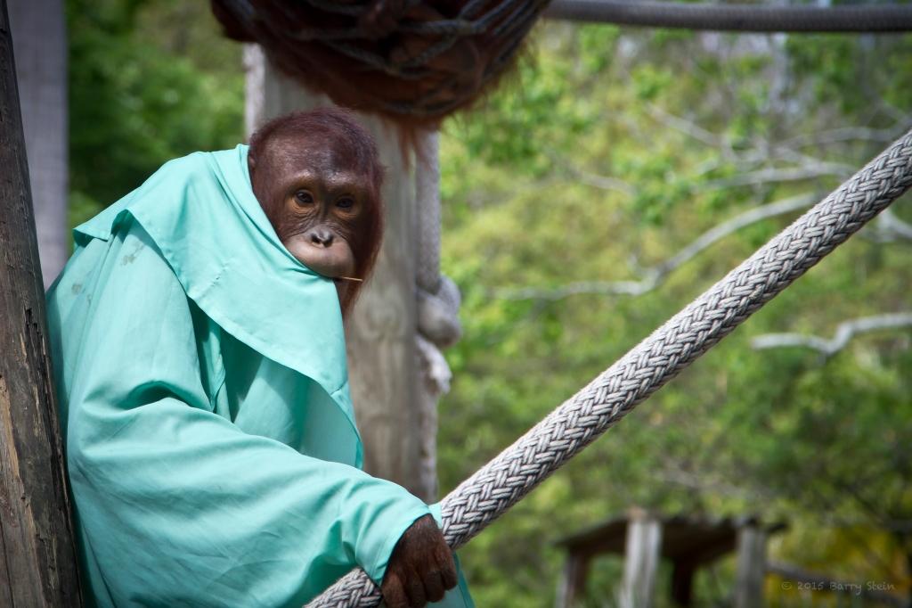 OrangutangSuckingCoat-1352