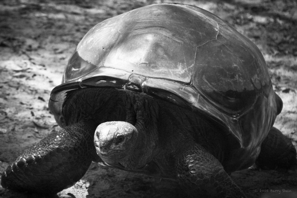 Tortoise-1690